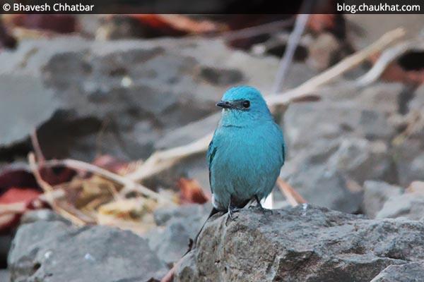Cute Verditer flycatcher hiding behind a rock [Eumyias thalassinus, Stoparola melanops, Eumyias thalassina]
